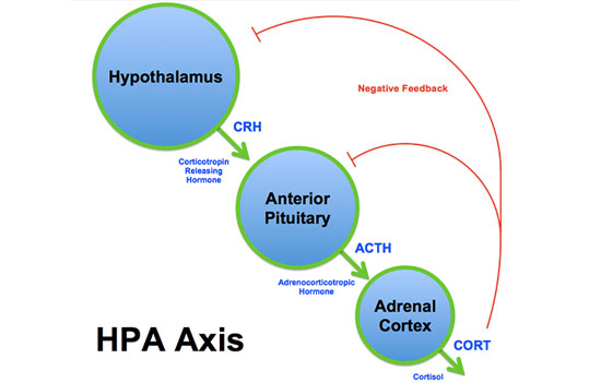 hpa-axis-sm